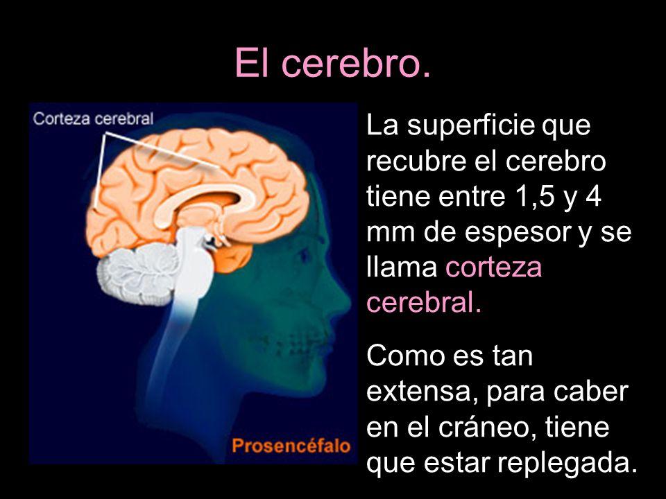 El cerebro. La superficie que recubre el cerebro tiene entre 1,5 y 4 mm de espesor y se llama corteza cerebral.