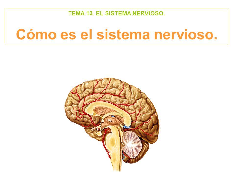 TEMA 13. EL SISTEMA NERVIOSO. Cómo es el sistema nervioso.