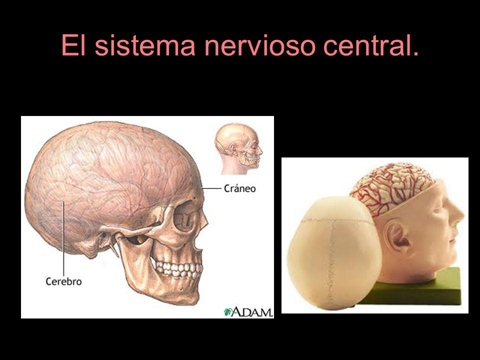 El sistema nervioso central.