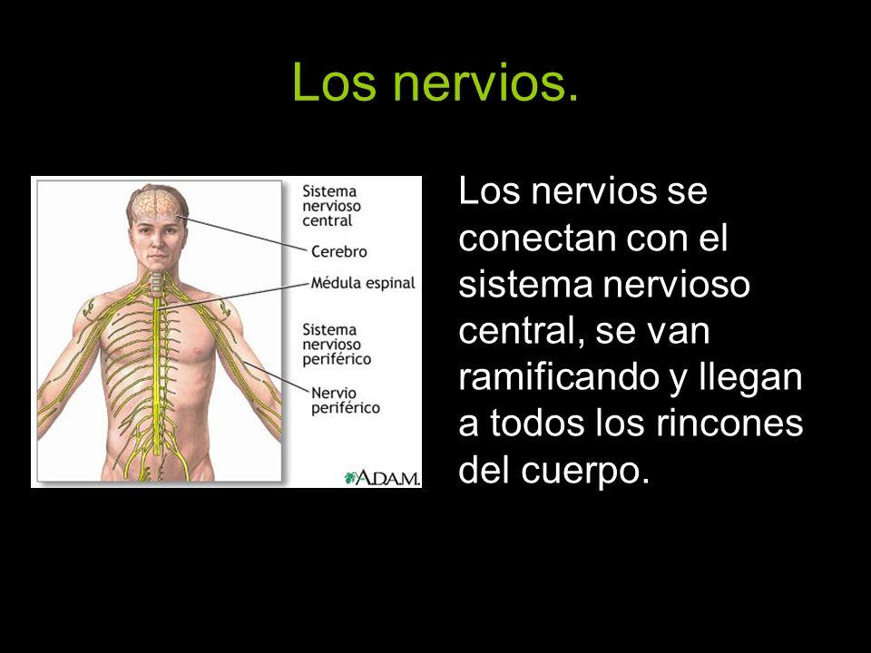 Los nervios.Los nervios se conectan con el sistema nervioso central, se van ramificando y llegan a todos los rincones del cuerpo.