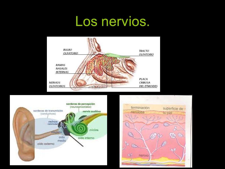 Los nervios.