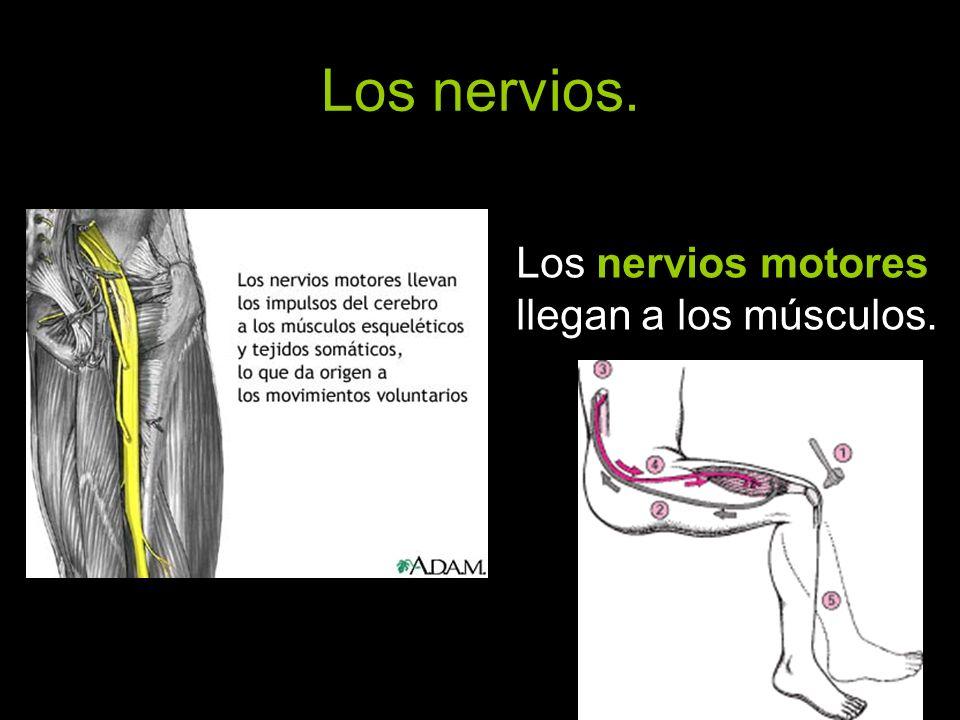 Los nervios. Los nervios motores llegan a los músculos.