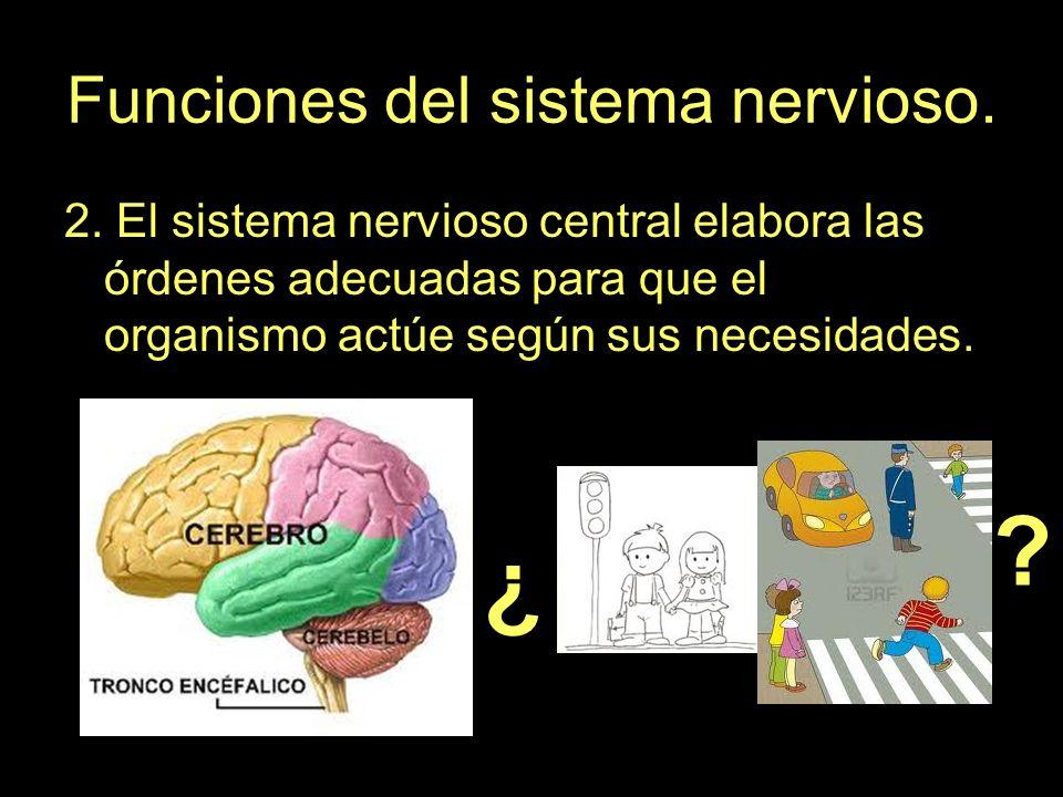 Funciones del sistema nervioso.