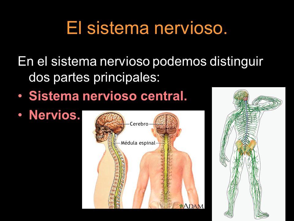 El sistema nervioso.En el sistema nervioso podemos distinguir dos partes principales: Sistema nervioso central.