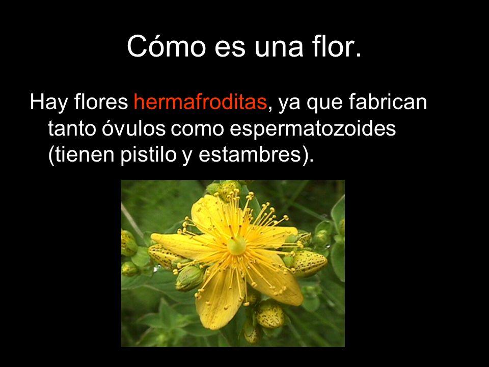Cómo es una flor.Hay flores hermafroditas, ya que fabrican tanto óvulos como espermatozoides (tienen pistilo y estambres).