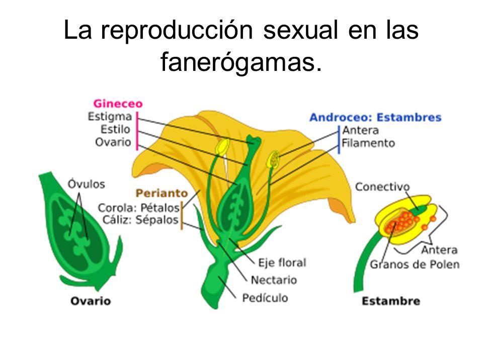 La reproducción sexual en las fanerógamas.