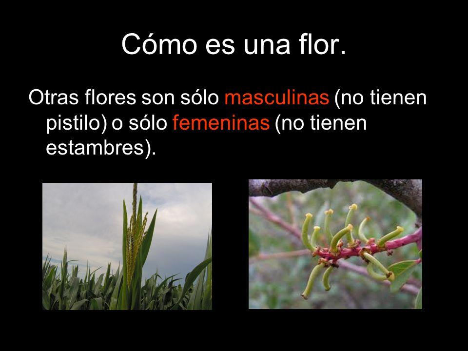 Cómo es una flor.Otras flores son sólo masculinas (no tienen pistilo) o sólo femeninas (no tienen estambres).