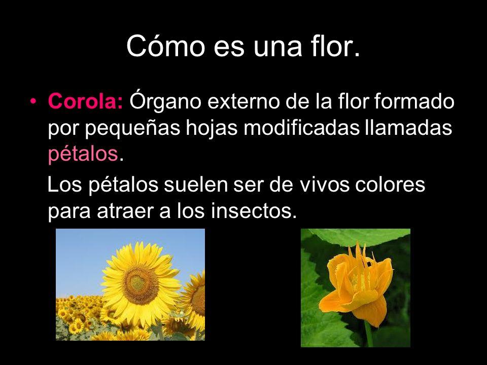 Cómo es una flor. Corola: Órgano externo de la flor formado por pequeñas hojas modificadas llamadas pétalos.