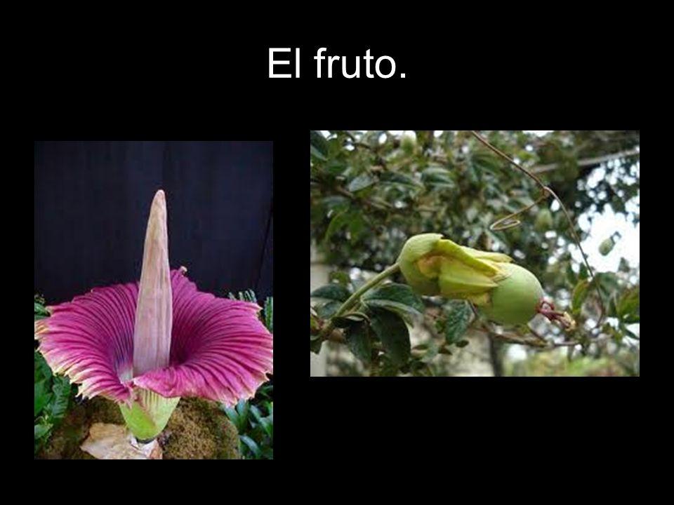 El fruto.