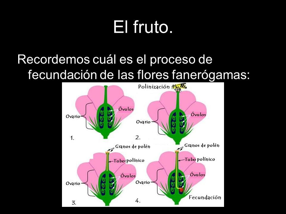 El fruto. Recordemos cuál es el proceso de fecundación de las flores fanerógamas: