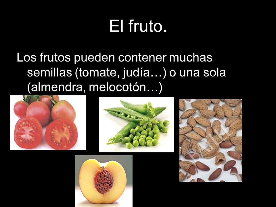 El fruto.Los frutos pueden contener muchas semillas (tomate, judía…) o una sola (almendra, melocotón…)