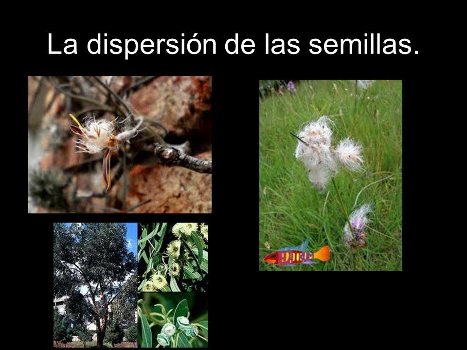 La dispersión de las semillas.
