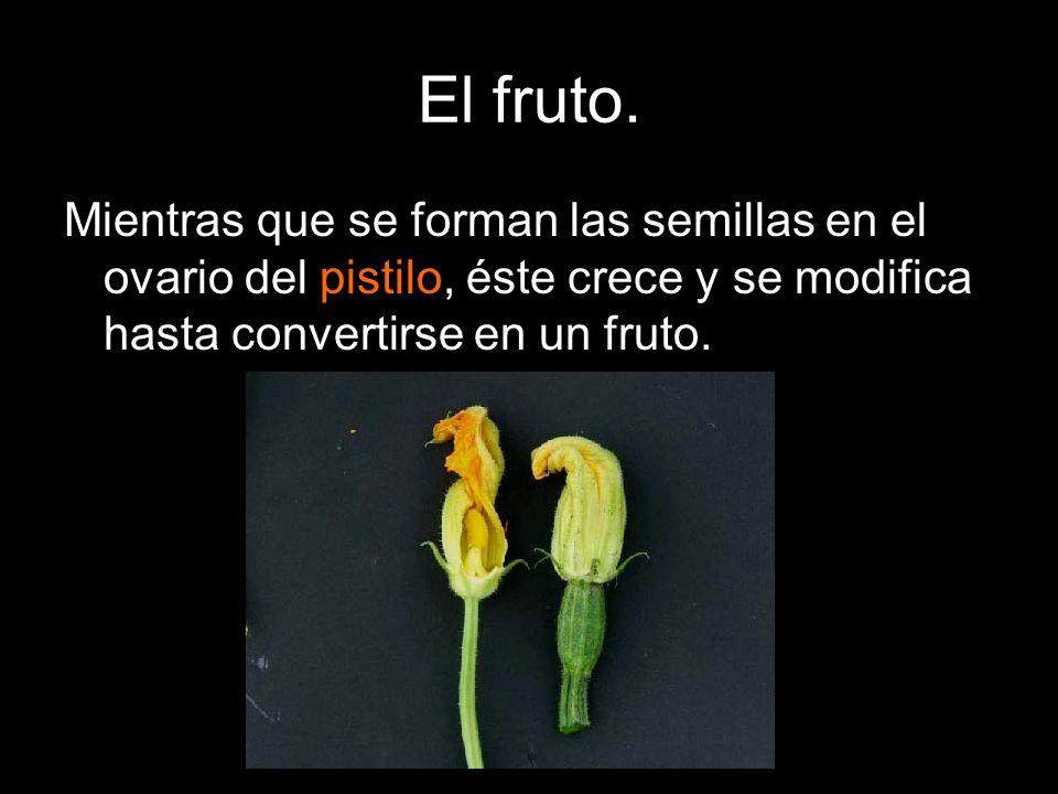 El fruto.Mientras que se forman las semillas en el ovario del pistilo, éste crece y se modifica hasta convertirse en un fruto.