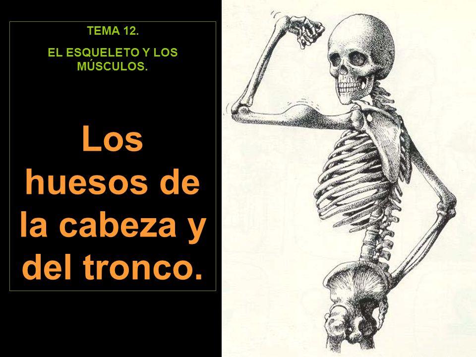 EL ESQUELETO Y LOS MÚSCULOS. Los huesos de la cabeza y del tronco.