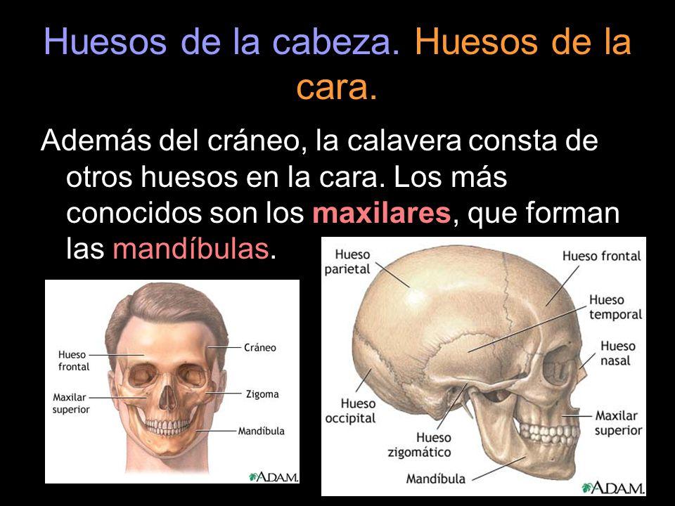 Huesos de la cabeza. Huesos de la cara.