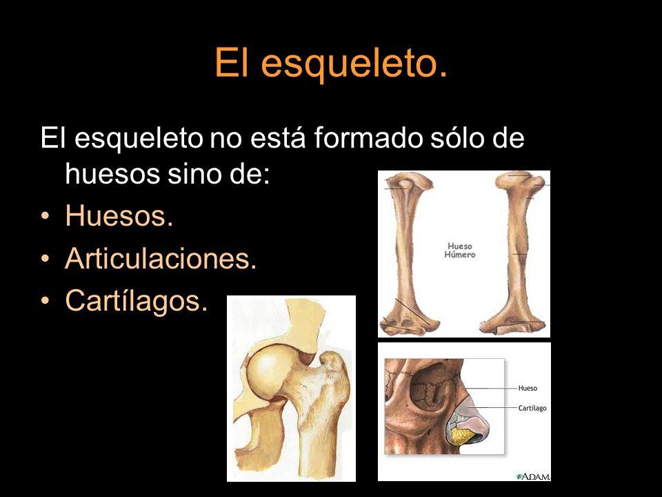 El esqueleto. El esqueleto no está formado sólo de huesos sino de: