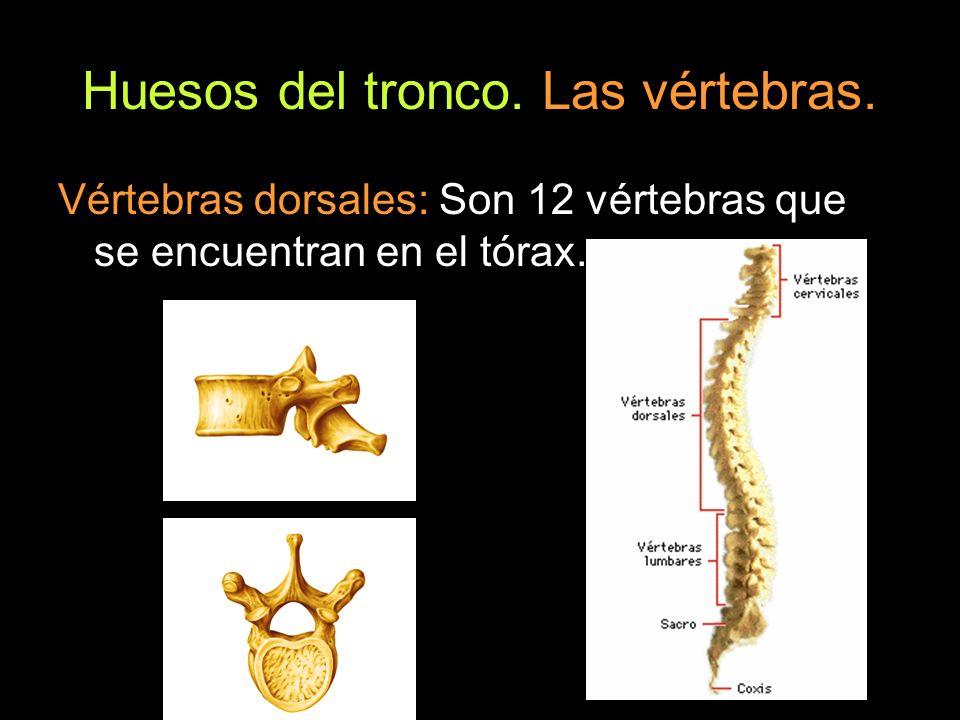 Huesos del tronco. Las vértebras.