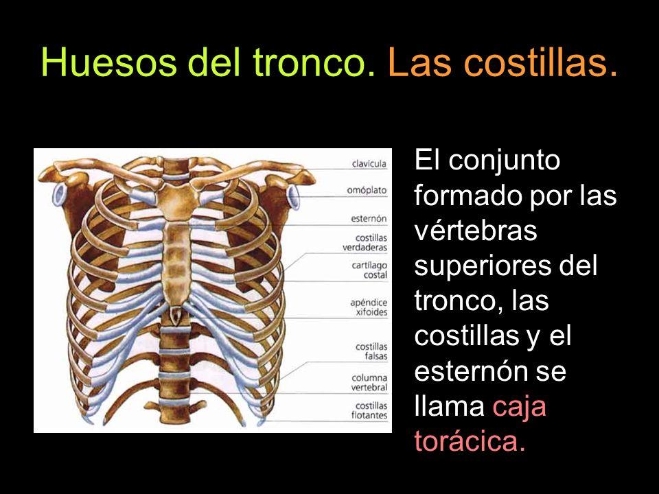 Huesos del tronco. Las costillas.