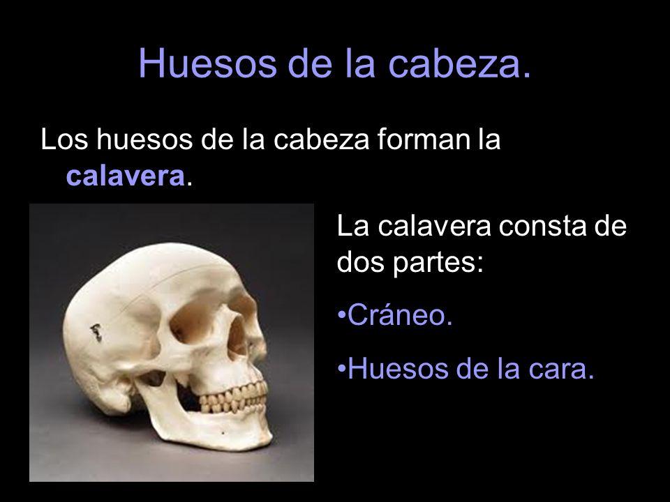 Huesos de la cabeza. Los huesos de la cabeza forman la calavera.