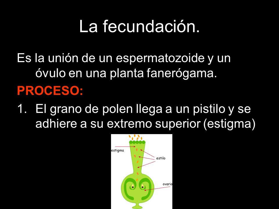 La fecundación. Es la unión de un espermatozoide y un óvulo en una planta fanerógama. PROCESO: