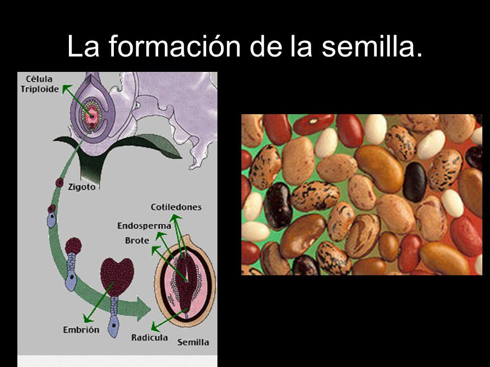 La formación de la semilla.