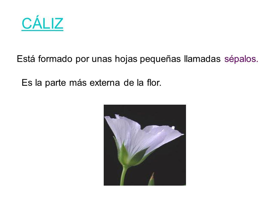 CÁLIZ Está formado por unas hojas pequeñas llamadas sépalos.