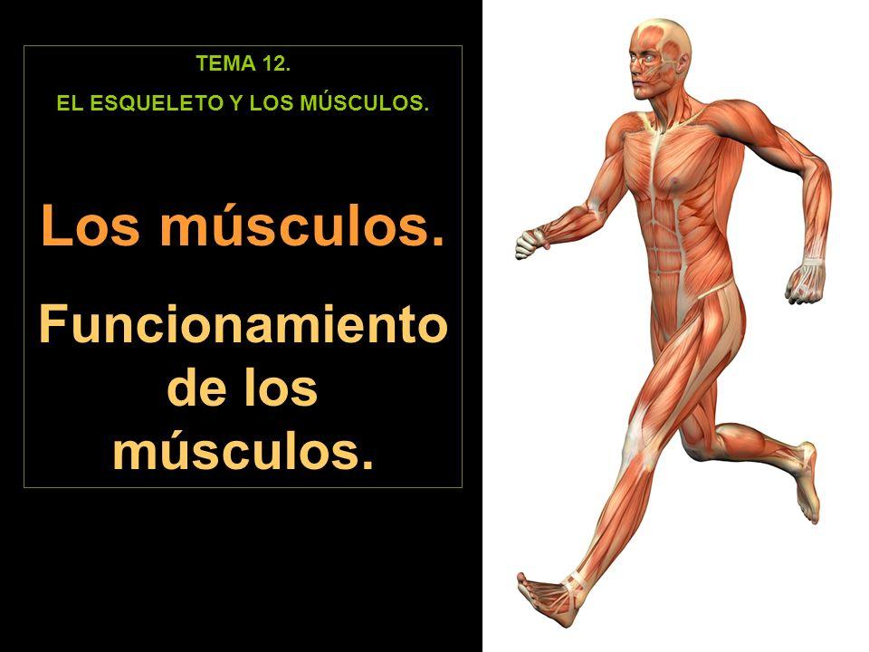 EL ESQUELETO Y LOS MÚSCULOS. Funcionamiento de los músculos.