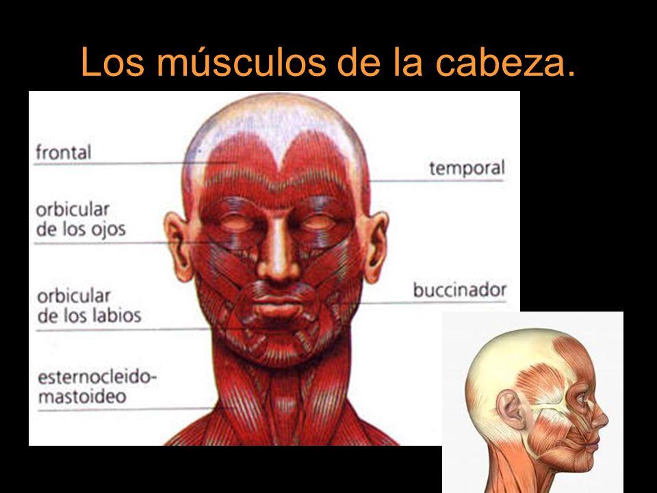 Los músculos de la cabeza.