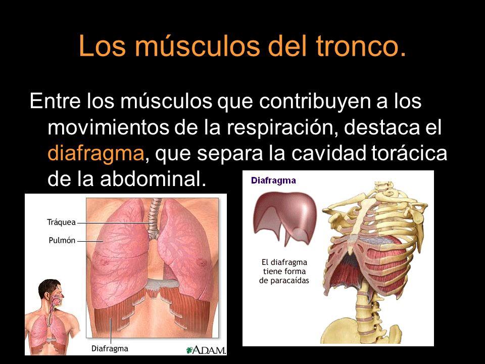 Los músculos del tronco.