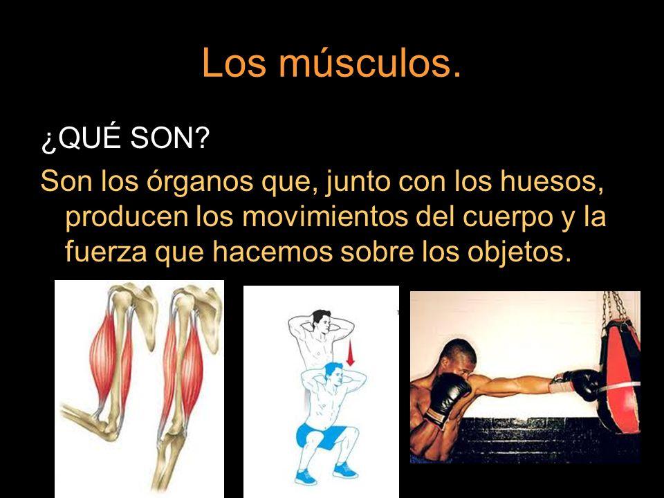 Los músculos. ¿QUÉ SON.