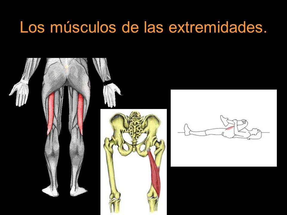 Los músculos de las extremidades.