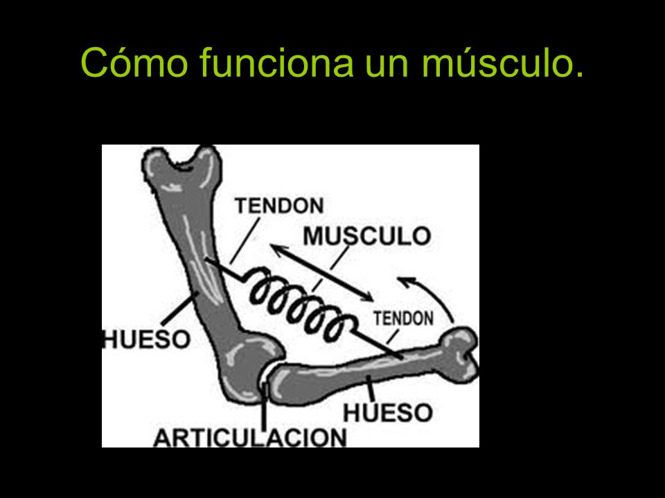 Cómo funciona un músculo.
