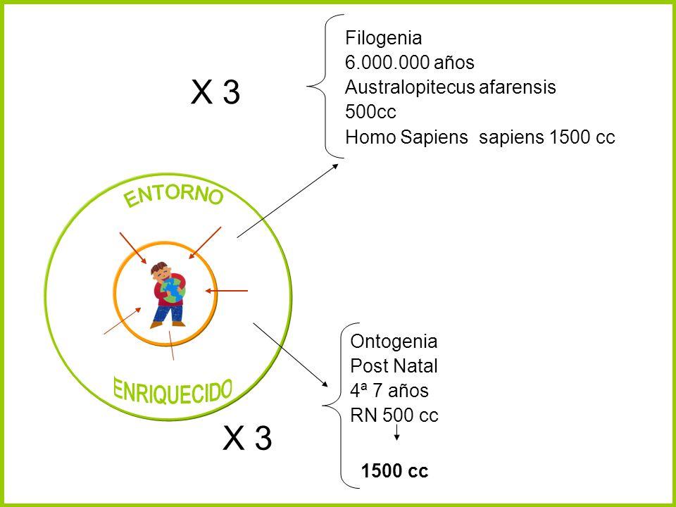 X 3 X 3 Filogenia 6.000.000 años Australopitecus afarensis 500cc