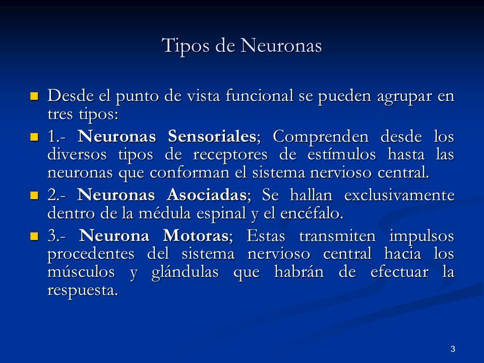 Tipos de Neuronas Desde el punto de vista funcional se pueden agrupar en tres tipos: