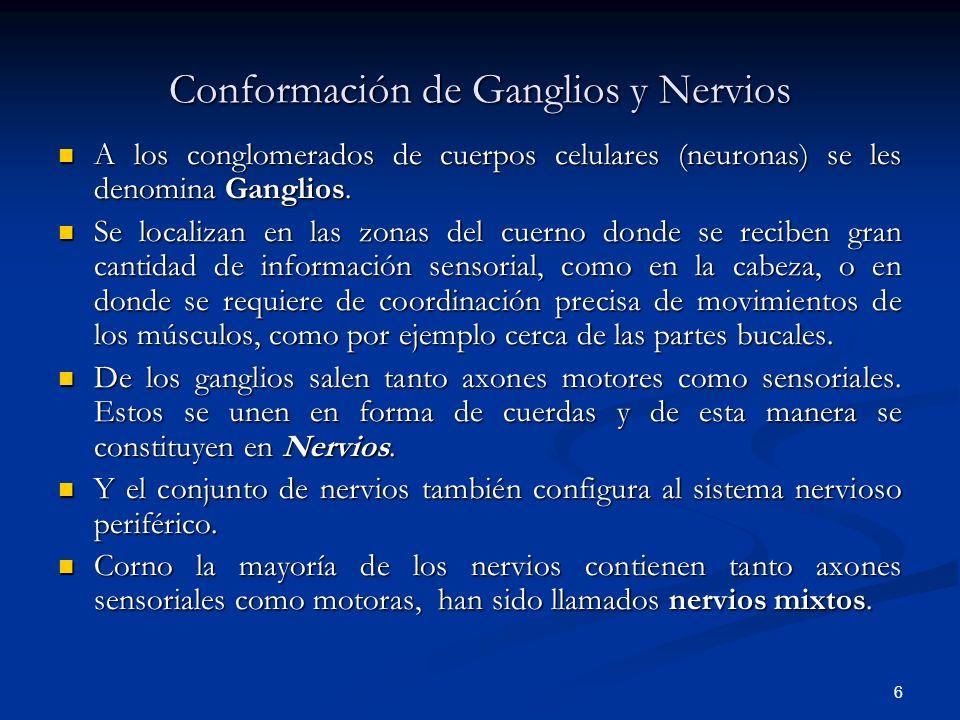 Conformación de Ganglios y Nervios