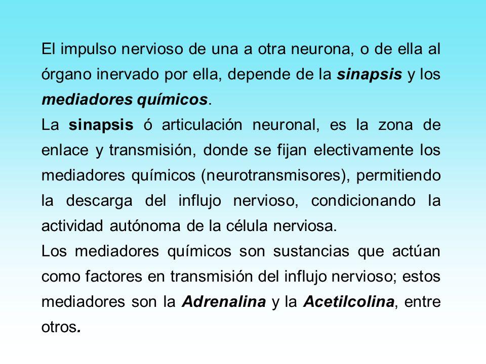 El impulso nervioso de una a otra neurona, o de ella al órgano inervado por ella, depende de la sinapsis y los mediadores químicos.