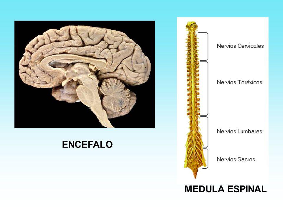 ENCEFALO MEDULA ESPINAL