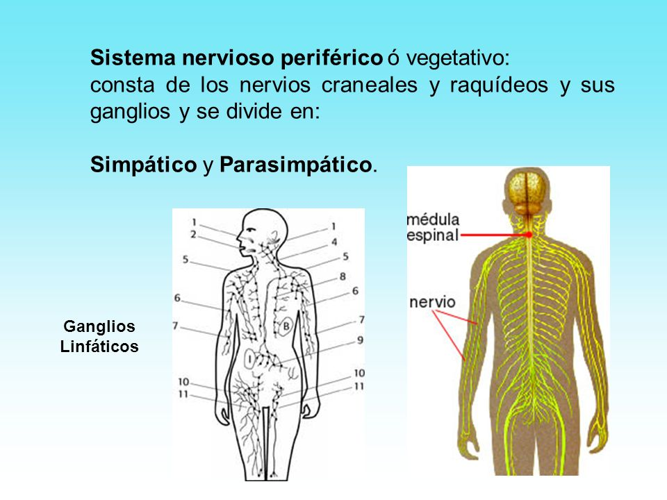Sistema nervioso periférico ó vegetativo: