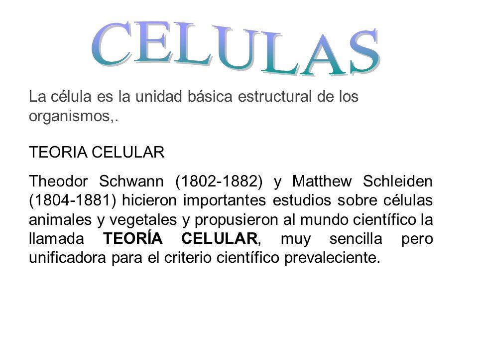 CELULAS La célula es la unidad básica estructural de los organismos,.