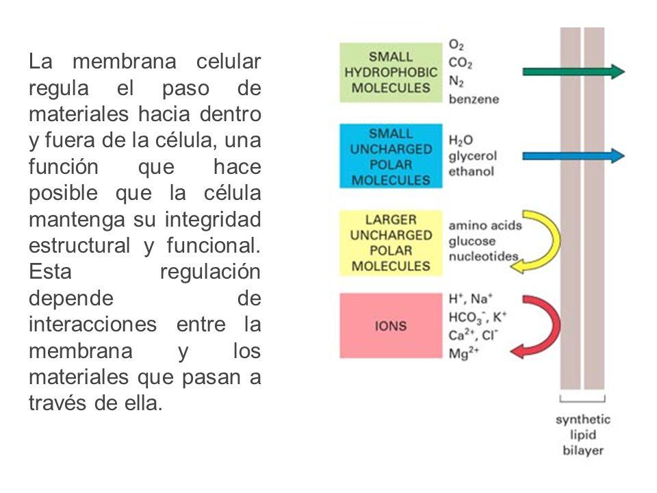 La membrana celular regula el paso de materiales hacia dentro y fuera de la célula, una función que hace posible que la célula mantenga su integridad estructural y funcional.
