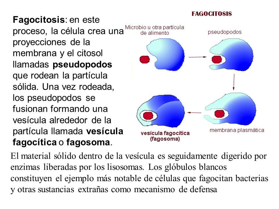 Fagocitosis: en este proceso, la célula crea una proyecciones de la membrana y el citosol llamadas pseudopodos que rodean la partícula sólida. Una vez rodeada, los pseudopodos se fusionan formando una vesícula alrededor de la partícula llamada vesícula fagocítica o fagosoma.