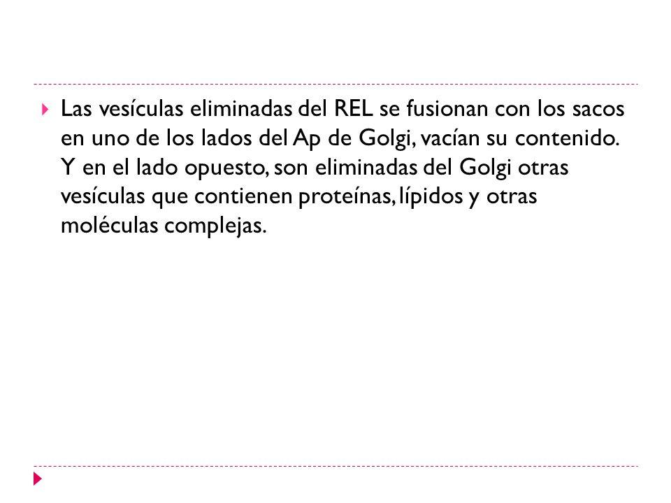 Las vesículas eliminadas del REL se fusionan con los sacos en uno de los lados del Ap de Golgi, vacían su contenido.