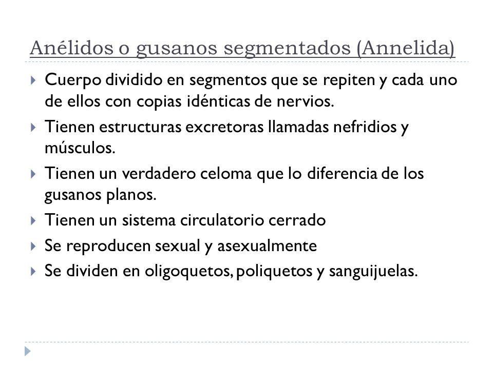 Anélidos o gusanos segmentados (Annelida)