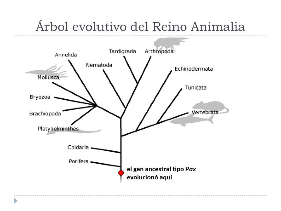 Árbol evolutivo del Reino Animalia