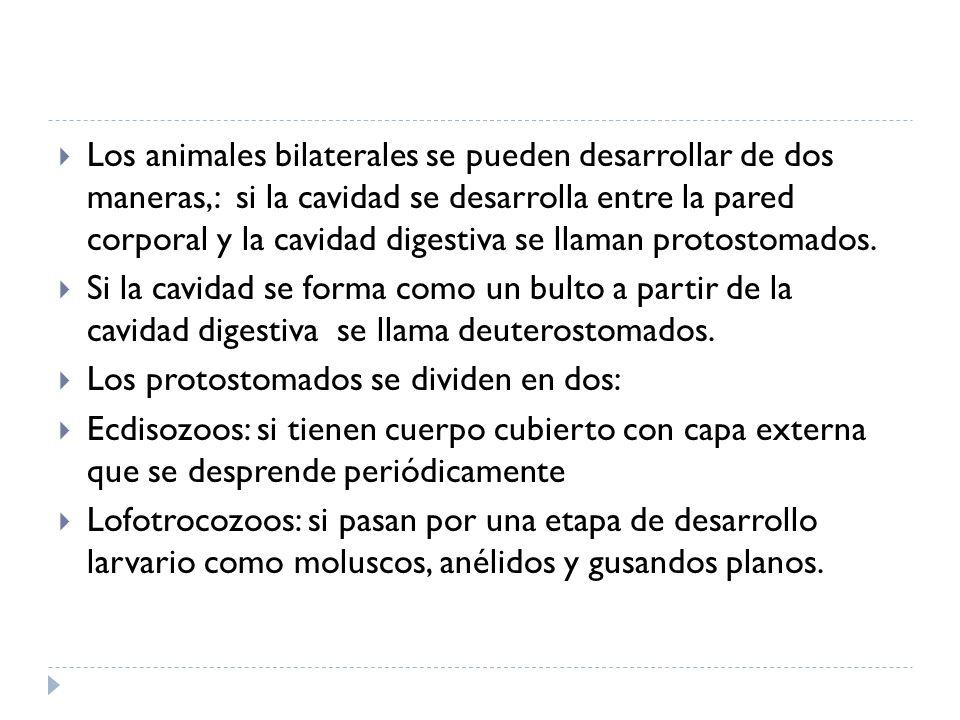 Los animales bilaterales se pueden desarrollar de dos maneras,: si la cavidad se desarrolla entre la pared corporal y la cavidad digestiva se llaman protostomados.