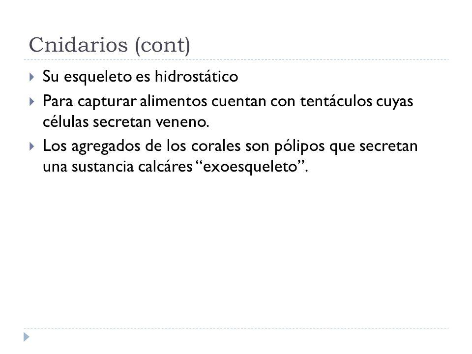 Cnidarios (cont) Su esqueleto es hidrostático