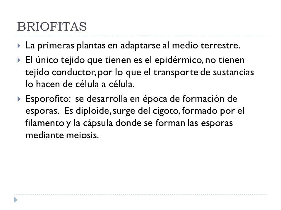 BRIOFITAS La primeras plantas en adaptarse al medio terrestre.