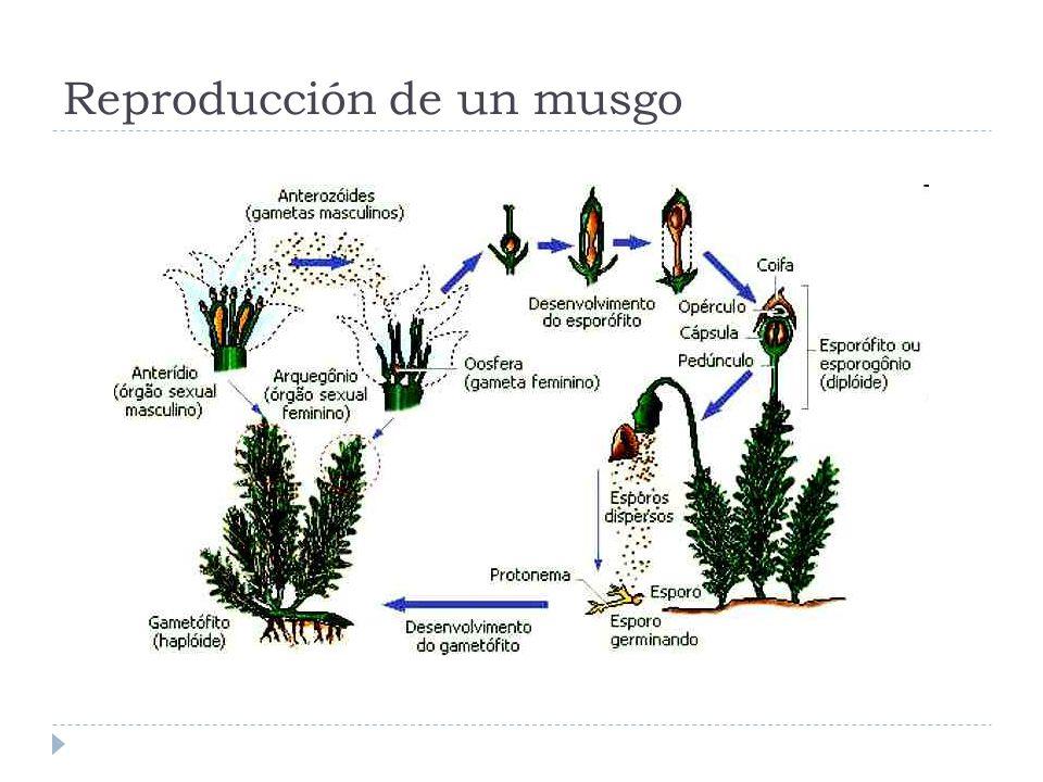 Reproducción de un musgo