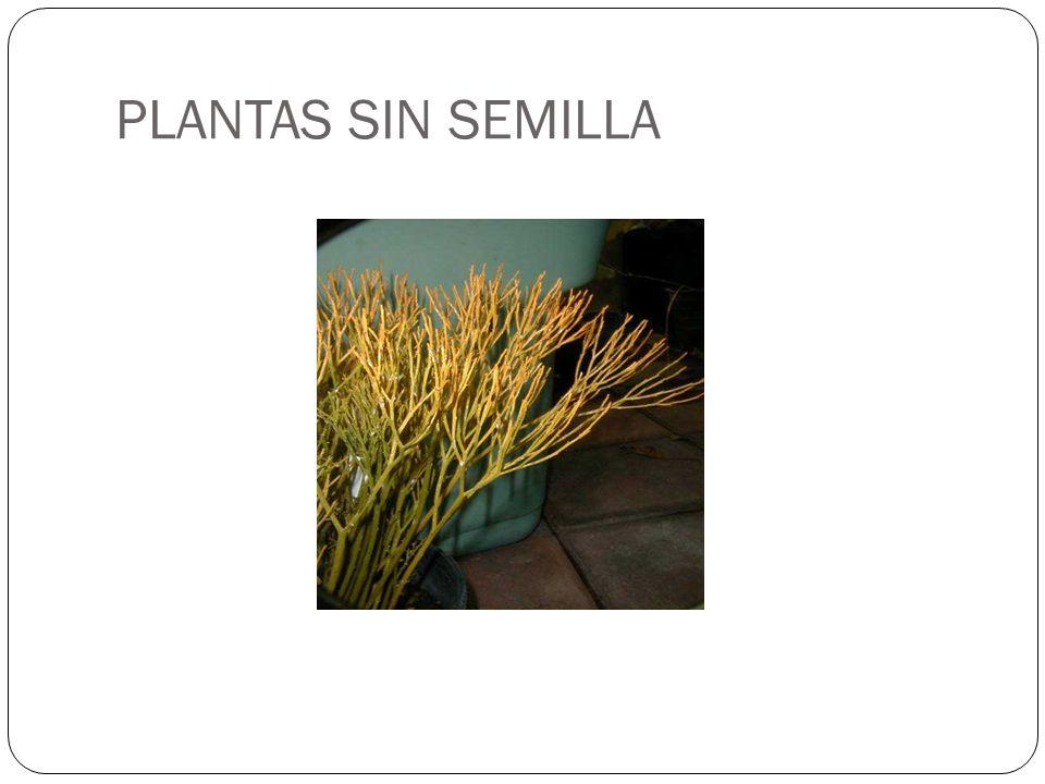 PLANTAS SIN SEMILLA Psilotum sp