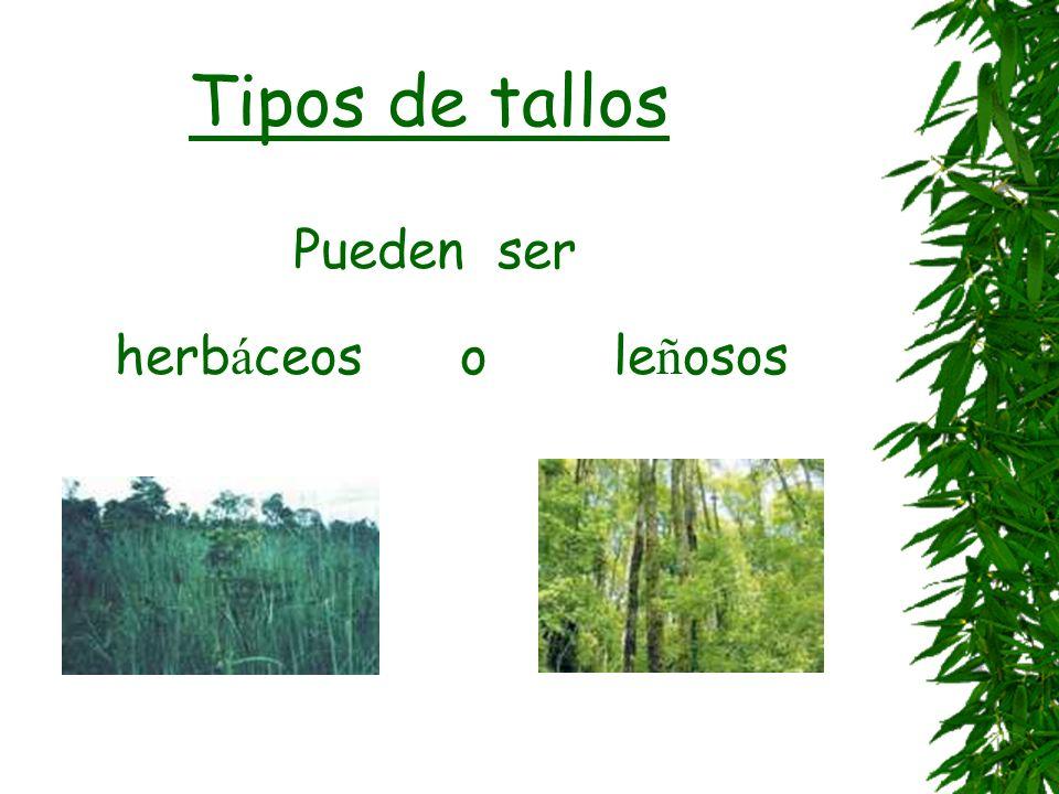 Tipos de tallos Pueden ser herbáceos o leñosos